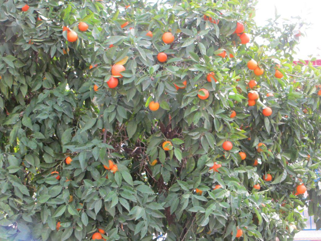 Мандариновое дерево!