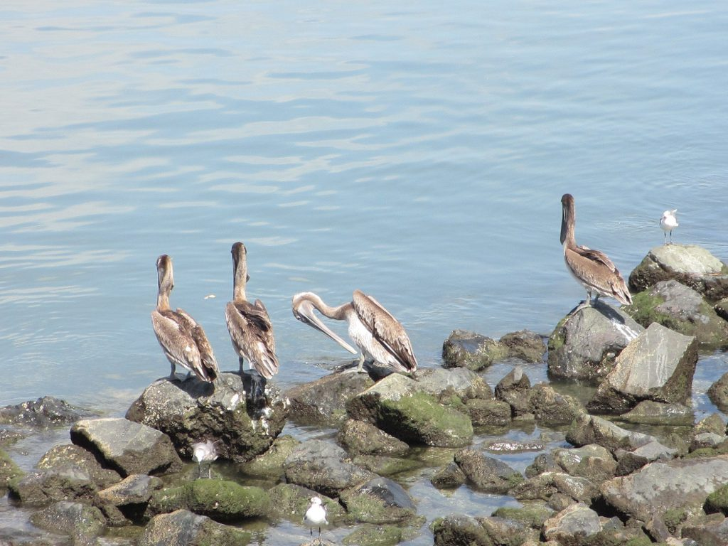 Пеликаны! Много пеликанов